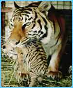 Sumatran tiger with a cub in her mouth