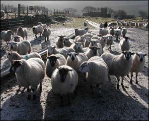 Snowy sheep on the mountains above Bridgend by Steve Salter