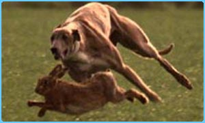 Hare coursing's biggest event starts on Tuesday