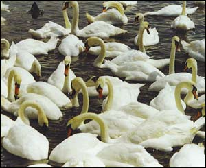 The swans at the Knap Lake, Barry, Vale of Glamorgan, sent by Marc Lamerton of Pontyclun