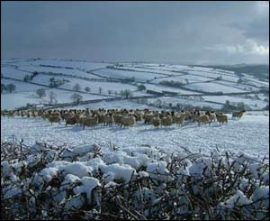 Roger Phillips saw these sheep trying to deal with the snow near Lampeter, Ceredigion