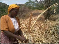 This maize crop stopped growing because of a lack of water