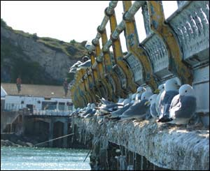 Mumbles Pier provides a perfect roost for these gulls (Jim Young, from Swansea)