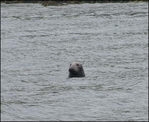 The Wilson family sent in this picture of an Atlantic Grey Seal, taken from a boat off Puffin Island