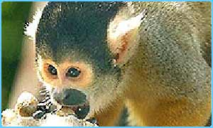 A squirrel monkey similar to the ones stolen
