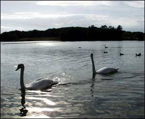 Swans on Cosmeston Lakes in Penarth, Cardiff, taken by Jethro Browne of Ammanford