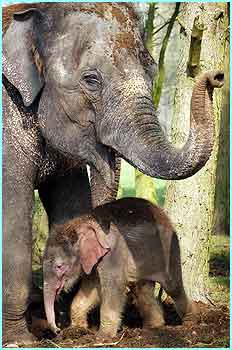 The smaller of these two elephants is the first Asian elephant ever to be born at the UK's Whipsnade Wild Animal Park, Bedfordshire