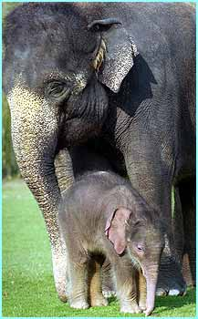 Even though the baby elephant is only a few weeks old she already weighs almost 150 kg and is around a metre tall