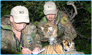 The cubs get their collars    Pic: John Goodrich/Wildlife Conservation Society