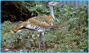 The Great Bustard