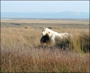 A wild horse taken on a windy winters day at Whiteford Burrows, North Gower (Chris Jones)