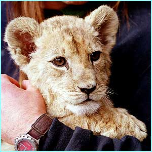 Samira is a rare Barbary lion, descended from big cats kept by the King of Morocco