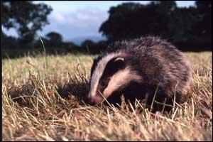 'Badger cub' by Nick Lyon