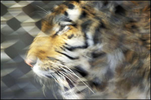 'Tiger behind chain link' by Thornton
