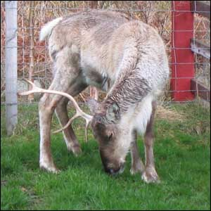 Looks like reindeer. Jenny Swan from Heriot-Watt University took this picture in Aviemore over the Easter weekend