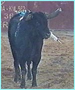 Picture of a bull