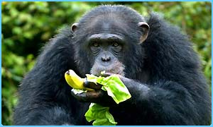 A chimp eating a banana