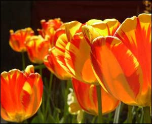 Tulips in the spring sunshine in Stuart Cane's garden in Cardiff