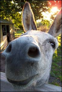Archie the donkey, taken at The Paddocks, Abergavenny by Mike Gibson