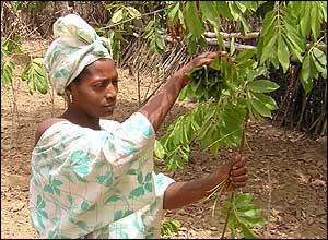 Laba woman picking indigo leaves