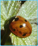 The UK's seven-spotted ladybird
