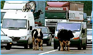 Cows wander around on the M1 motorway