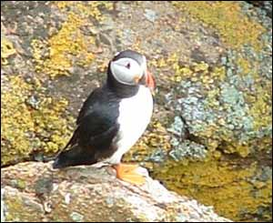 A puffin on Skomer Island off Pembrokeshire taken in May (Chris Jones)