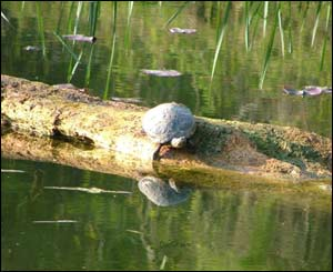 This terrapin was captured on camera at Bosherston, south Pembrokeshire, by Christie Barkler