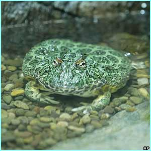 An ornate horned frog sits in a water pool. It's very well camouflaged!