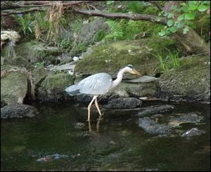 A heron fishing for lunch in Llanberis (Denis Egan from Bangor).