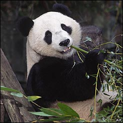 Oso panda gigante de China