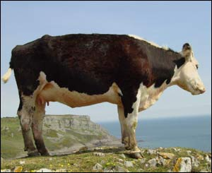 A cow admiring the view from the top of Pennard Cliffs, Gower (Wil Shreeve, Gorseinon)
