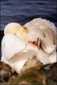 A camera-shy swan at the Foryd, by Ifor Williams, Llanfaglan