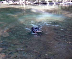 Mathew Sullivan's dog Onion having a dip in the Taff in Glyncoch, Pontypridd