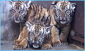 Baby Tigers in China