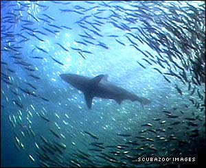 Bronze whaler shark moving through sardines