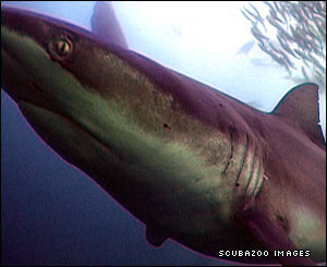 An inquisitive bronze whaler shark