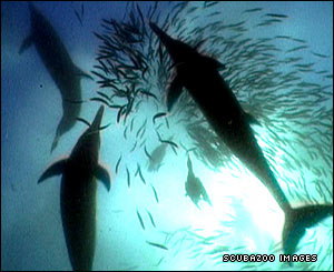 Common dolphins attacking a baitball
