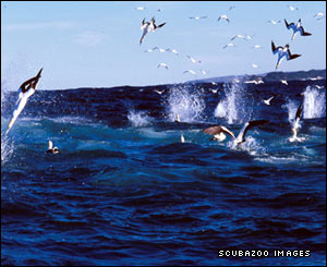 Cape gannets diving for sardines