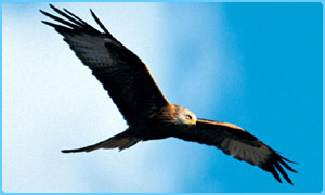A red kite flying high