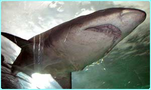 Underside of a shark