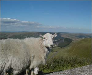 Andrew Cochlin sent this sheepish view of Treorchy