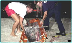 Body of a shark that was involved in an attack on a swimmer