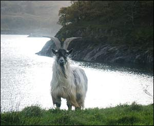 A goat which came down from the hills after a storm in Llanberis, taken by Loren Roberts