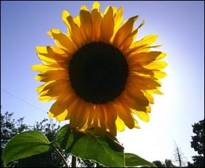 This picture of a sunflower in Penly, Wrexham was taken late this summer by Tom English