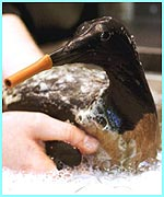 Bird being cleaned up after an oil spill