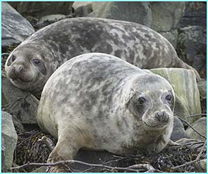 The UK coastline stretches 10,500 miles. These grey seal pups were photographed off the Scottish coastline.