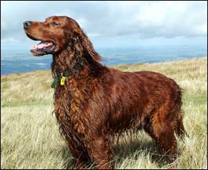 Richard Eadon, from Chippenham, sent in this shot of his Irish Setter, Douglas, in the Black Mountains in Talgarth