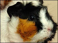 One of the guinea pig family members who were rescued