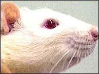 Rats are often used in animal testing
